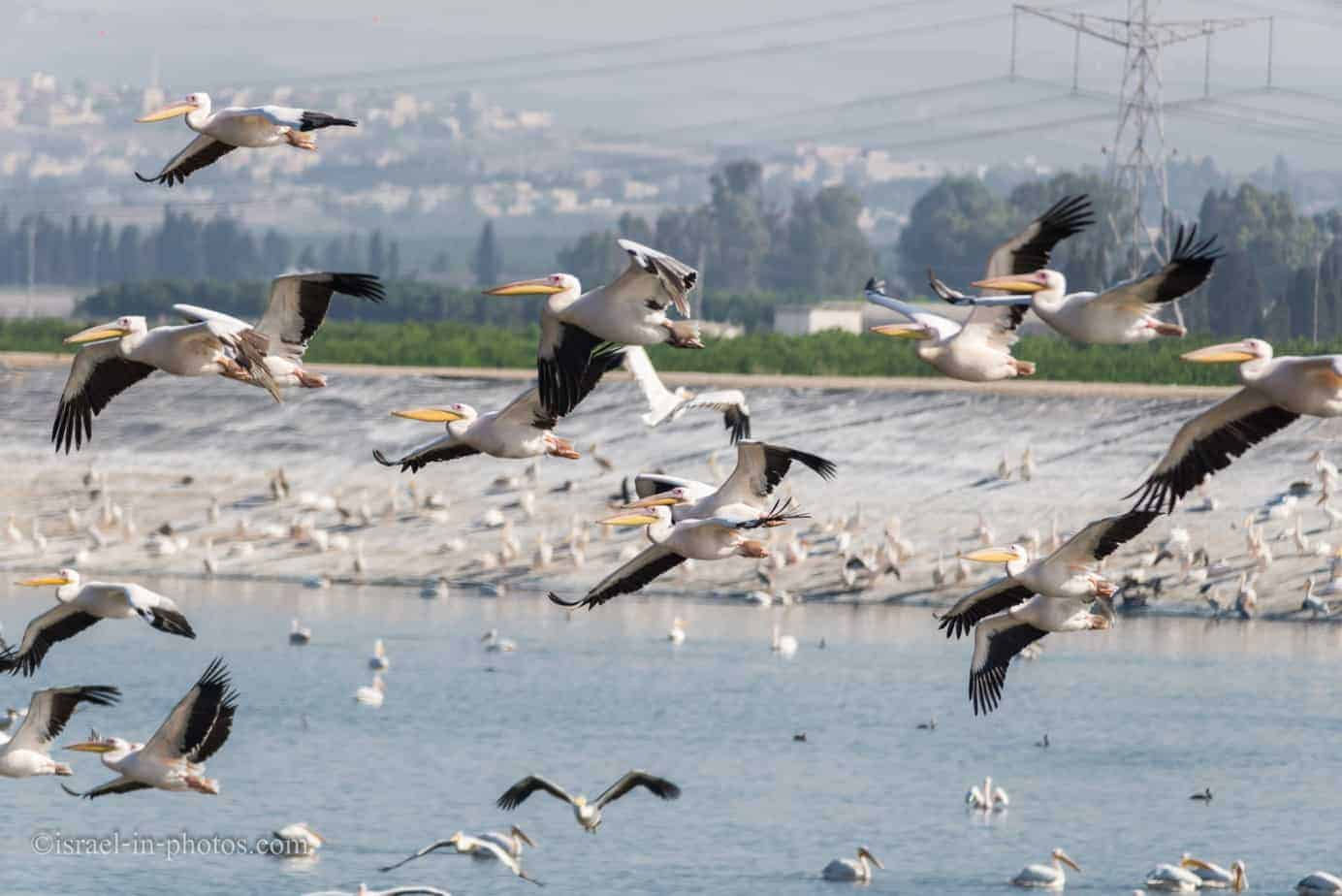Pelican migration at Emek Hefer