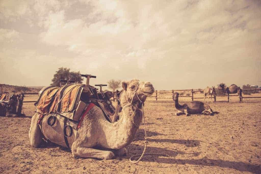 Camel Ride In The Negev