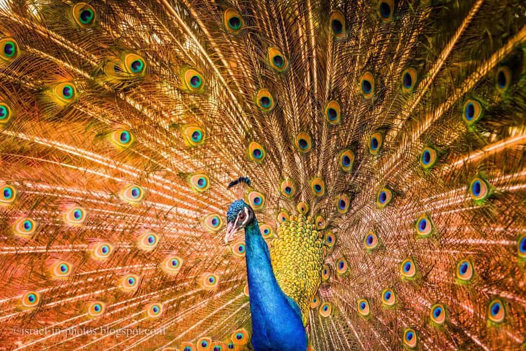 Peacock at Monkey Forest in Yodfat