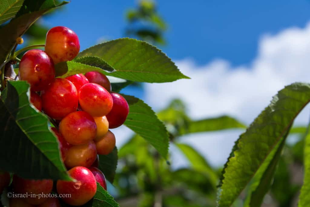 Picking Cherries at Odem