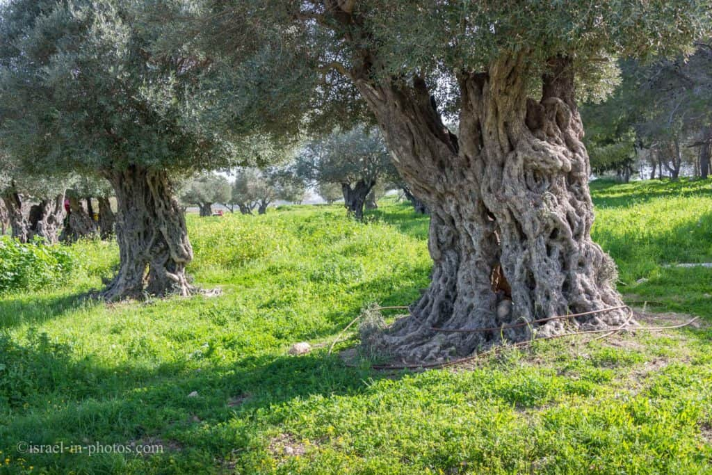 Olive grove at Ein Afek Nature Reserve