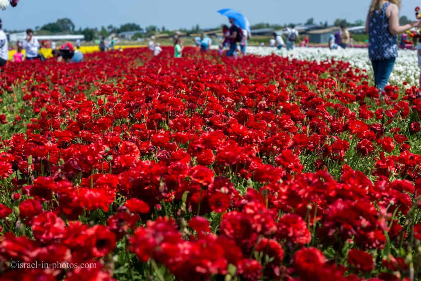 Buttercup Picking Festival in Be'er Tuvia