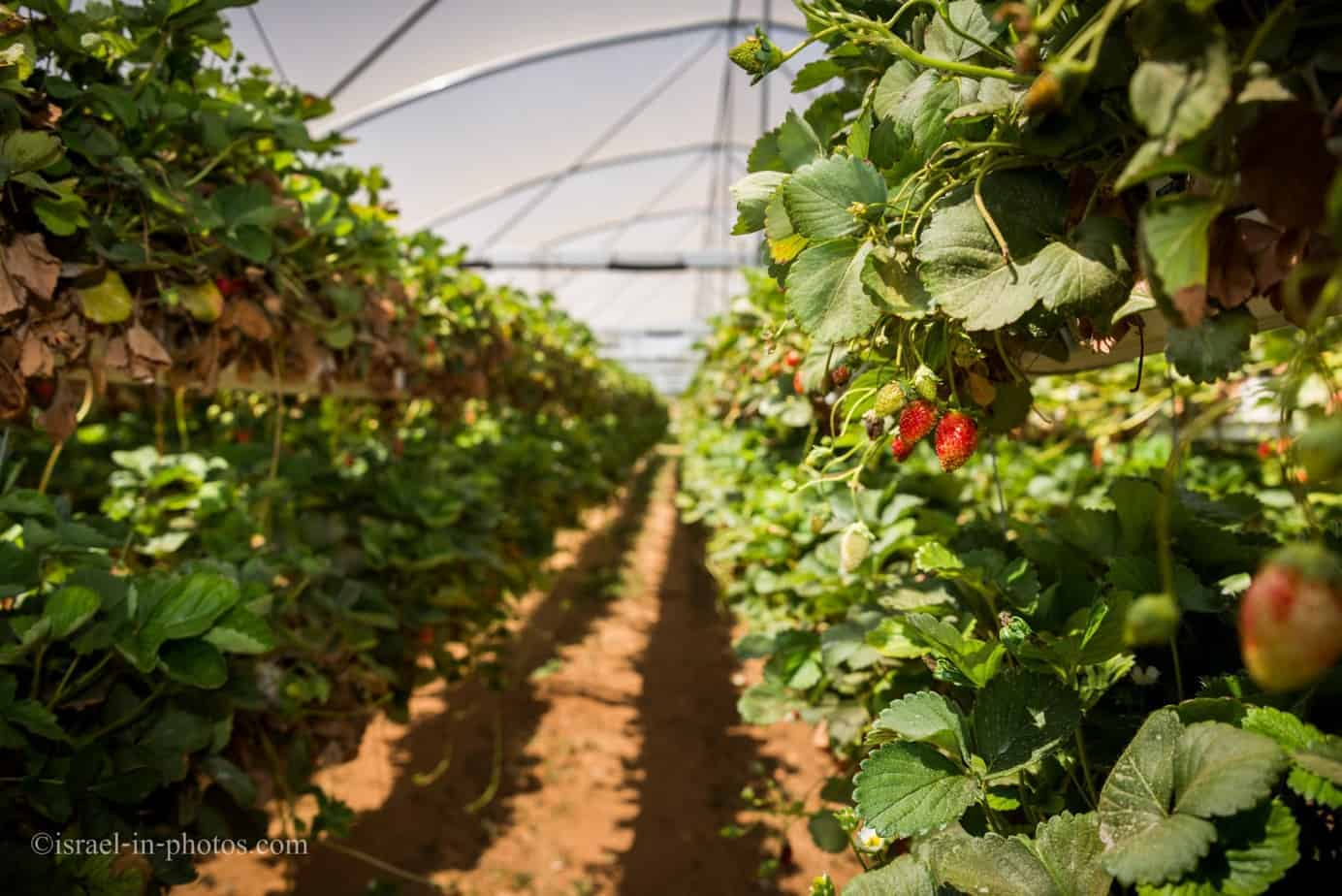 Strawberries growing in air at a farm in Israel
