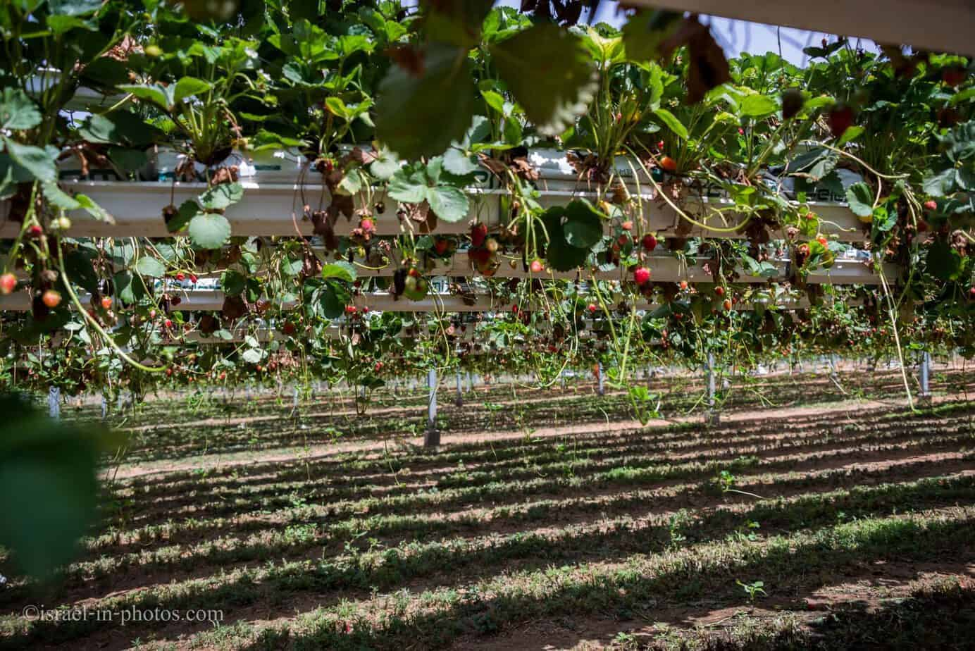 A look across the rows of strawberries