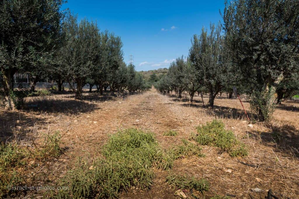 olives grove