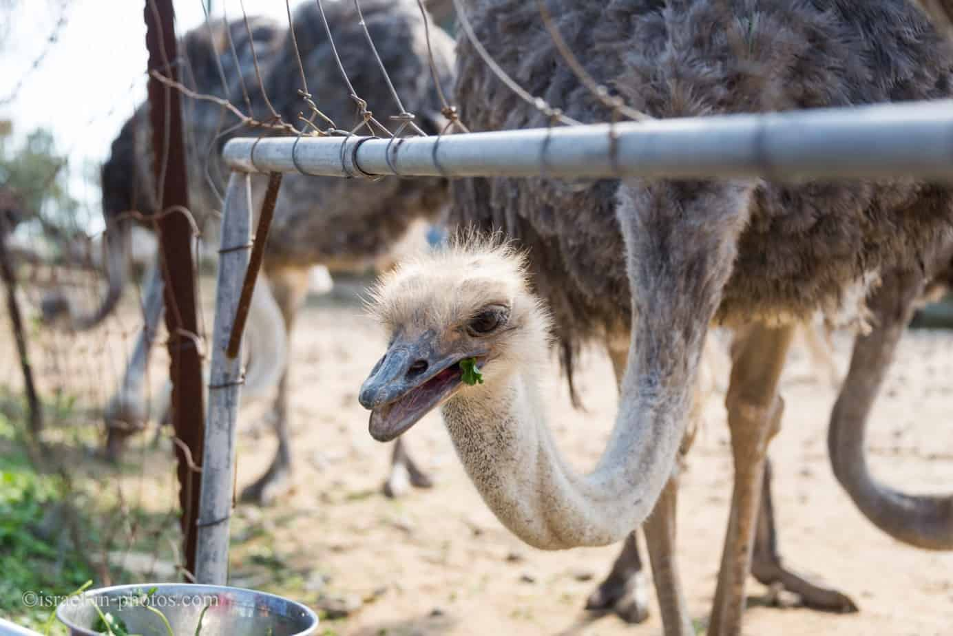 Visit to Ostrich Farm in the Negev