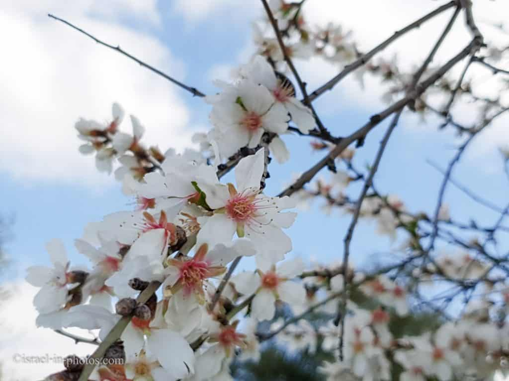 Almond tree with blossoming flowers