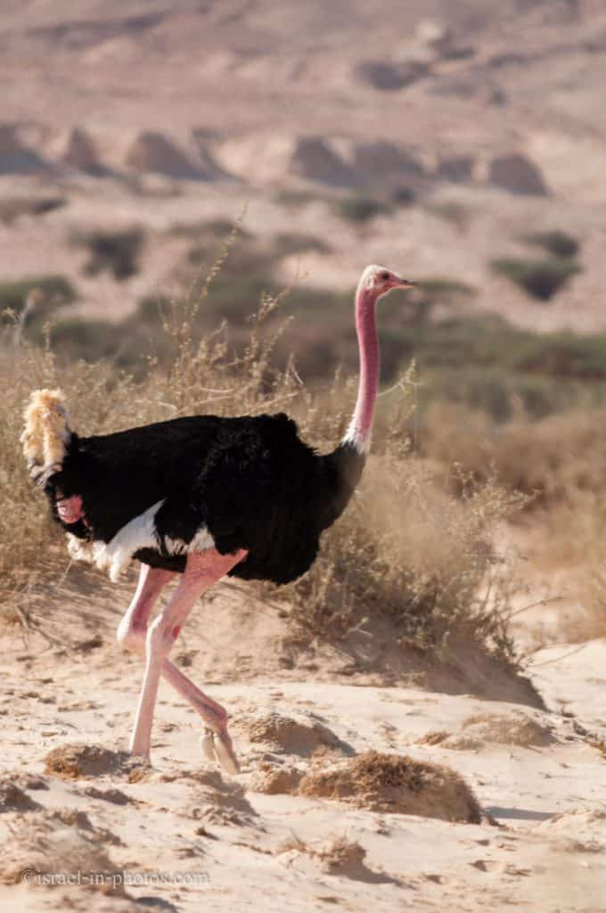 An Ostrich in the open area