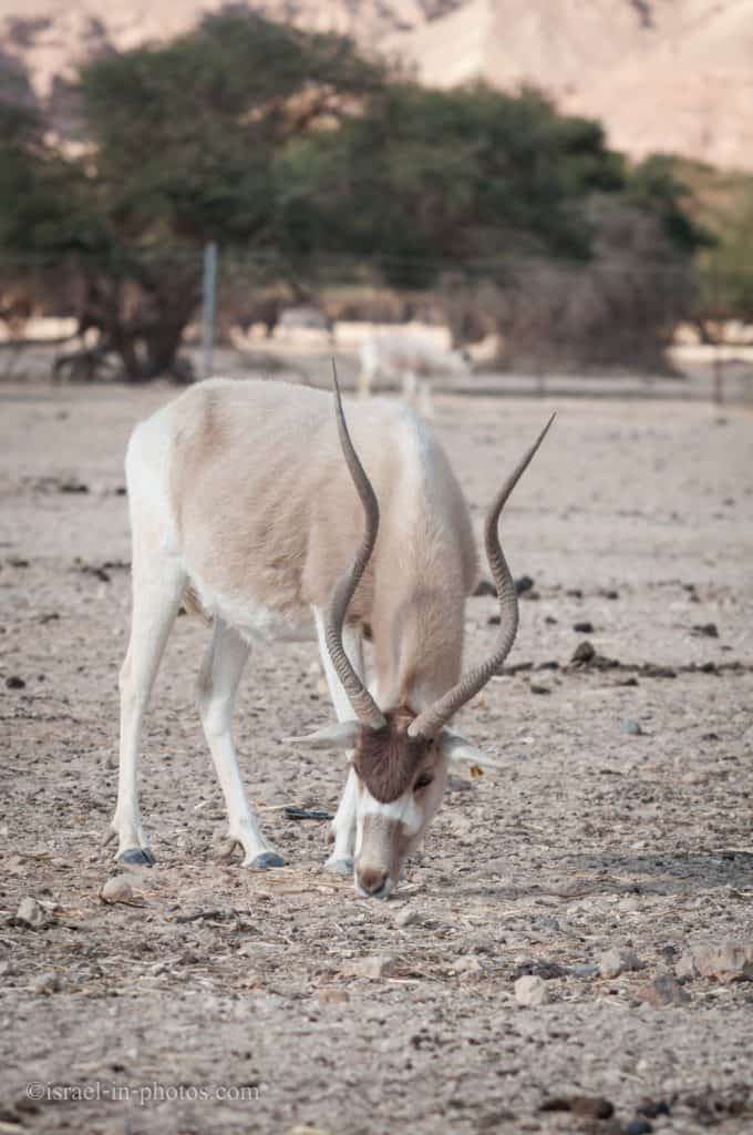 Addax, AKA the white antelope, or the screwhorn antelope