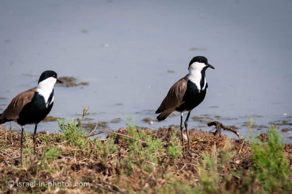 Spur-winged lapwing, Hula Nature Reserve