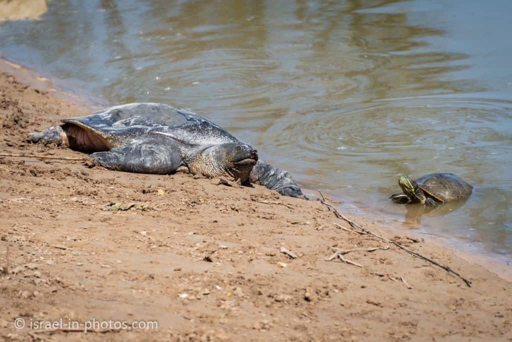African softshell turtle and a river turtle